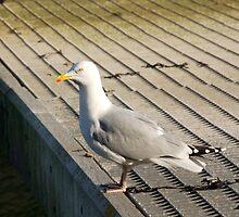 Seagull on pontoon, Salcombe, Devon, UK by silverportpics