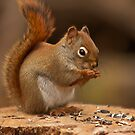 Squirrel eating some nuts - Ottawa, Canada by Josef Pittner