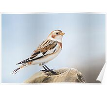 Snow Bunting. Poster