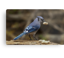 Feeding the Blue Jays Metal Print