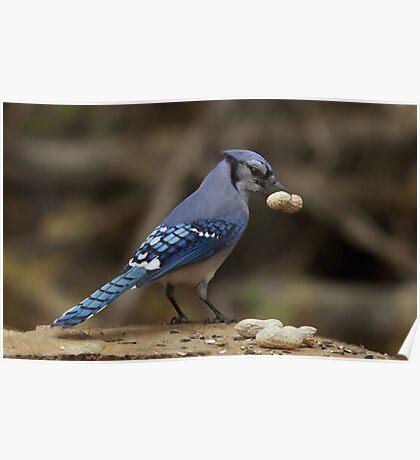 Feeding the Blue Jays Poster