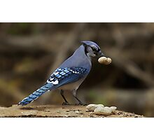 Feeding the Blue Jays Photographic Print