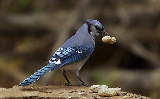 Feeding the Blue Jays by Josef Pittner