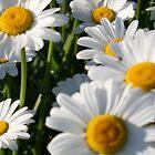 Daisy Love by runawaywind