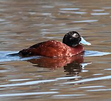 Blue-billed Duck by John Donkin