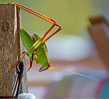 Grasshopper on the washing by gtveloce
