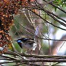Blue Wren by Michelle Ricketts