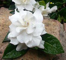 Gardenia 1 by TJSphoto