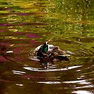 Duck reflections by Michelle Ricketts
