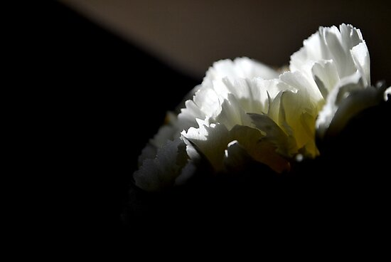 Carnation Emotion by Lozzar Flowers & Art
