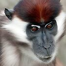 Cherry Crowned Mangabey. by Delboy10