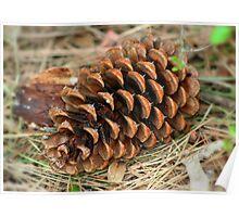 Fir Tree Cone  Poster