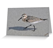 Black Bellied Plover Greeting Card