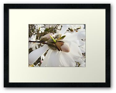 White Magnolia Flowers art Prints Floral by BasleeArtPrints