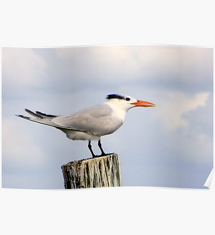 Royal Tern Poster
