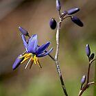 Tiny Bush Jewel - Dianella caerulea (Flax Lilly) by Robert Elliott