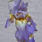 Iris in Purple by Steven  Agius
