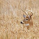 Marsh Buck by Jim Cumming
