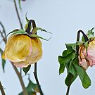 Dried Roses by Carolyn Clark