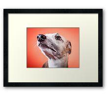 Whippet pet dog Framed Print