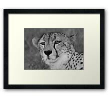 A wild cheetah portrait Framed Print