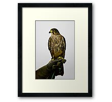 New Zealand Falcon Framed Print