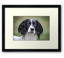 Spaniel pet dog Framed Print