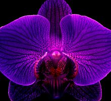 Orchidaceous by © Ashley Edmonds Cooke