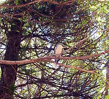 Kookaburra - 18 11 12 by Robert Phillips