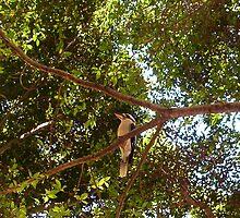 Kookaburra Portrait - 18 11 12 by Robert Phillips