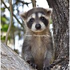 racoon  by Brian L. Giddings of Emotions Photography Inc.