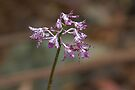 Dipodium variegatum (Hyacinth Orchid) by Robert Elliott