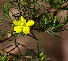 Rare and Endangered ~ Hibbertia menai by Robert Elliott