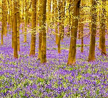 Bluebells Wood 01 by lc-photo