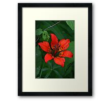 Prairie Wood Lily (Tiger Lily) Framed Print
