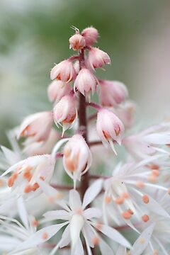 Tiarella by sarah ward