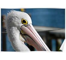 Pelican Pose Poster