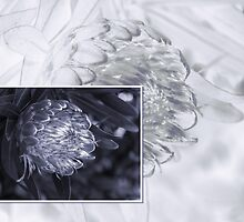 Protea 6 by Fran Woods