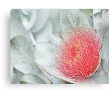 Macrocarpa flower Canvas Print