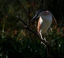 Nankeen Night Heron by David Toolan