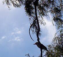 Kookaburra On My Street - Ten - 19 11 12 by Robert Phillips