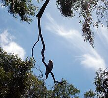 Kookaburra On My Street - Four - 19 11 12 by Robert Phillips