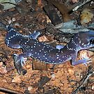 Underwoodisaurus milii (Thick-tailed Gecko; Barking Gecko) by Russell Mawson