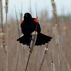 Red-winged Blackbird And Cattails 1 by Barry W  King