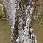 River Murray Birds at Mildura by Irene Whennan