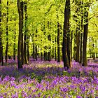 Bluebells Wood 15 by lc-photo