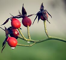 Rosehips after the Rain by TehRen
