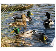 Ducks At Mangerton Mill, Dorset UK Poster