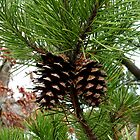 Pinecones by Jess Meacham
