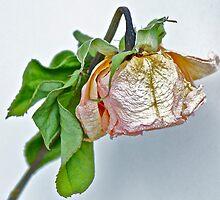 One Dried Rose by Carolyn Clark